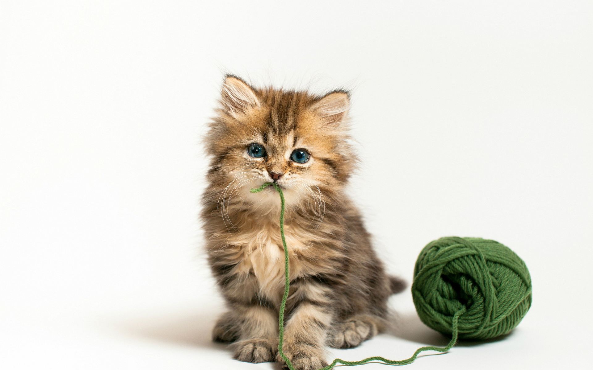 Cat with wool