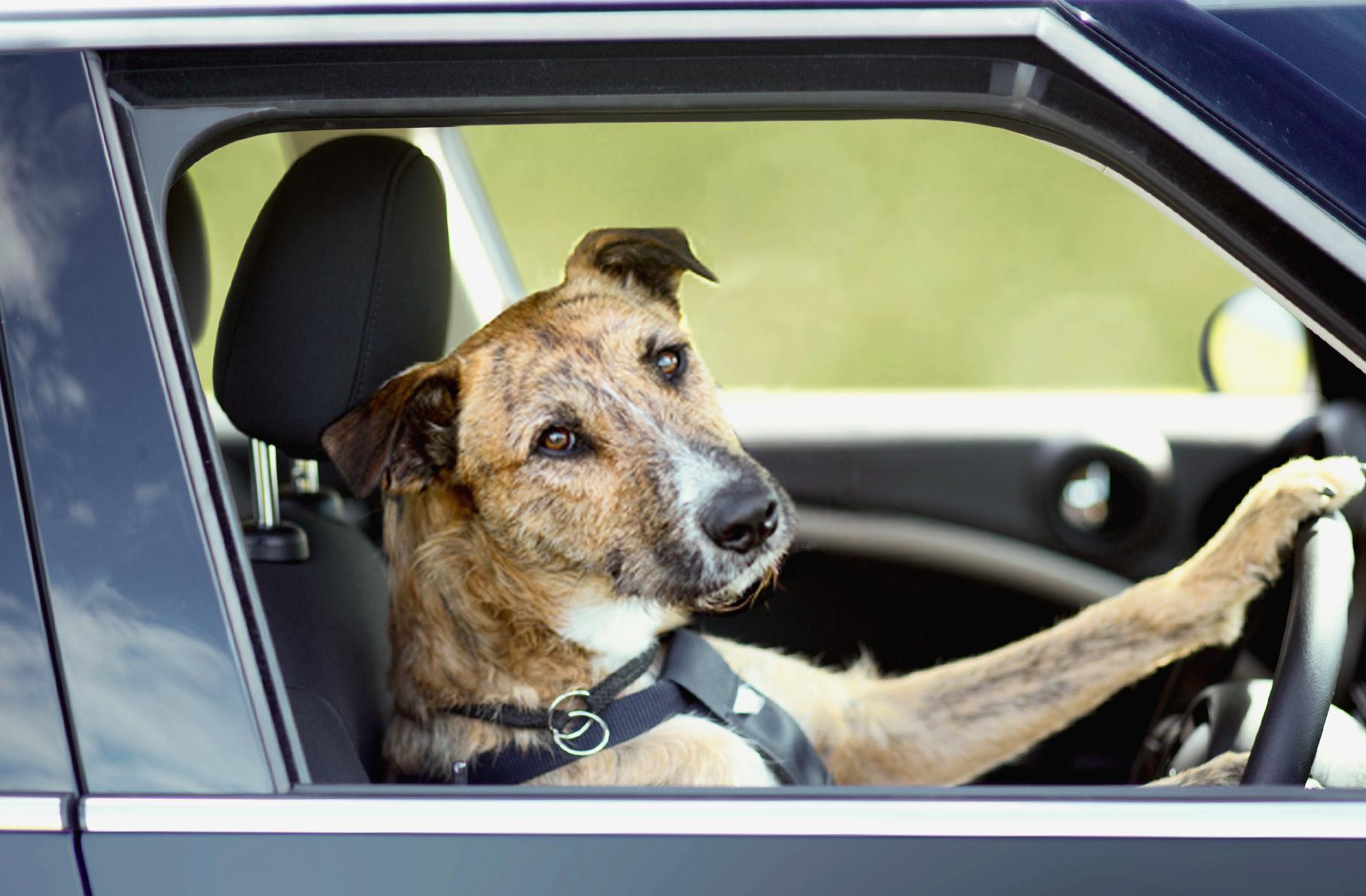 dog-driving