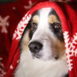 Christmas dog with blanket on head